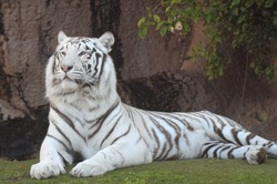 Rare Black and White Striped Adult Tiger