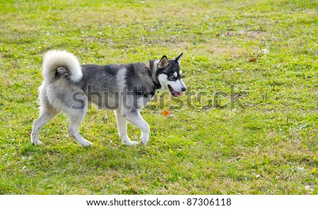 Rare breed miniature Siberian husky enjoying the freedom and exercise at a dog park on a sunny autumn afternoon.