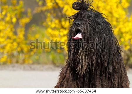 Rare Breed Of Dog � Bergamasco Shepherd. Stock