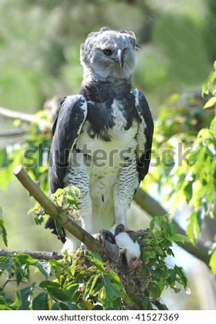 rare central american harpy eagle feeding on mouse, costa rica