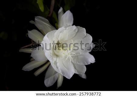 Rare cereus cactus, \