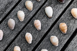 Rare cowrie shells on outdoor wooden table surface.
