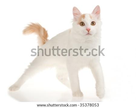 Rare cream Turkish Van cat on white background
