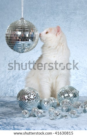 Rare Cream Turkish Van with disco balls