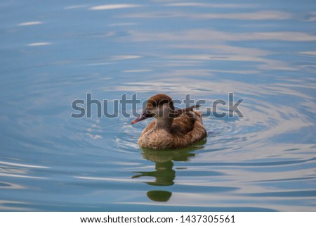 Rare duck swimming. Brown duck on the water. Portrait of an aquatic bird. Cute water bird. Brown-white duck on the lake. Wild bird in nature. Rare animal. Beautiful wild duck on the lough.  #1437305561