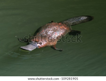 rare & elusive australian duck billed platypus in rainforest creek,eungella nat park, mackay,queensland, australia.exotic looking beaver tailed otter footed venomous mammal tropical jungle creek river