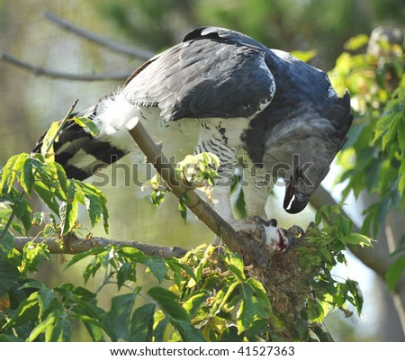 rare endangered central american harpy eagle feeding on mouse,costa rica, corcovado