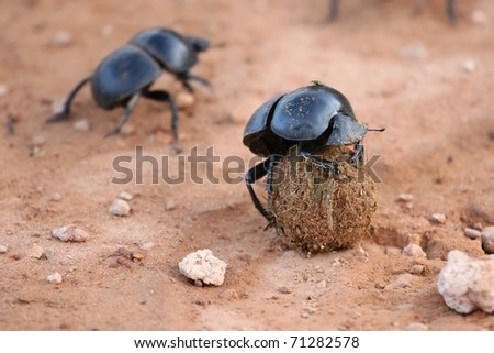Rare Flightless Dung beetle with it's ball of dung