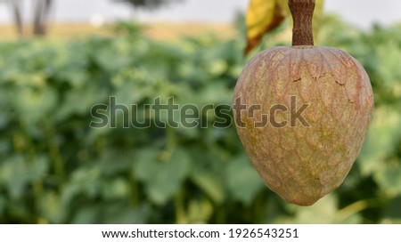 Rare fruit from India names upon Lord Rama called Ramphal or Ram Phal or Ramfal or Ram fal also called as Annona reticulate or Soursop in english with space or place for text. Stock fotó ©