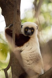 rare lemur Crowned Sifaka, Propithecus Coquerel, watching from a tree nearby, Ankarafantsika Reserve, Madagascar