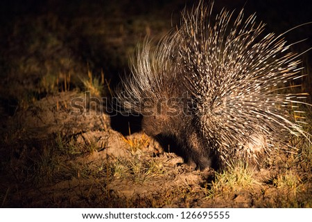 rare nocturnal african porcupine at night Hwange National Park