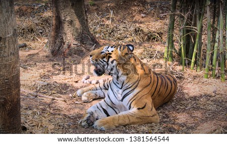 Rare picture of a Bengal tiger a endangered specie