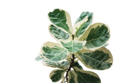 Rare plant with variegated leaves of fiddle-leaf fig tree (Ficus lyrata) the popular ornamental tree tropical houseplant isolated on white background, clipping path included.