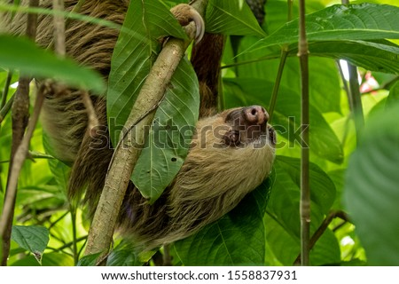 Rare shot of a two toed Sloth as it made its way down to the forest floor to relieve its backed-up bowels. Taken in in Costa Rica