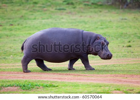 Rare sighting of a Hippo walking out of water