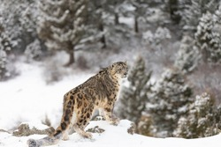 Rare Snow Leopard in Snowy environment