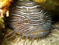 Rare Splendid Toadfish