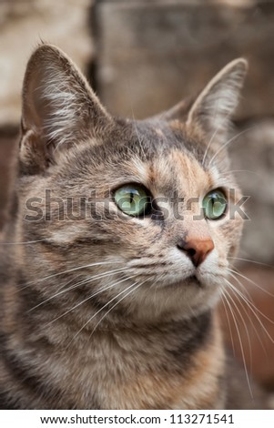 Rare Tortoiseshell-Tabby (Torbie) cat looking alert in front of a brick background