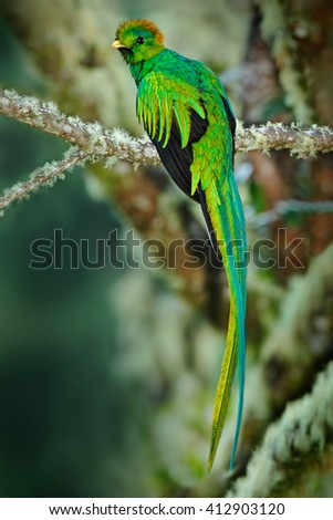 Rare tropic bird from mountain cloud forest. Resplendent Quetzal, Pharomachrus mocinno, magnificent sacred green bird with very long tail. Exotic bird from Guatemala, Central America