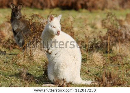 Rare white albino wallaby in contrast with brown wallaby