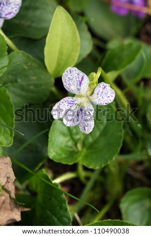 Rare White and Purple Speckled Violet Blossom (genus Violaceae)