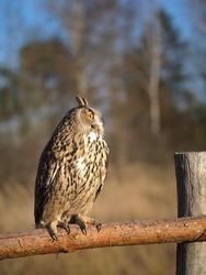 Rare wild bird eagle owl sits on a fence near the forest.