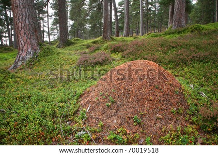 Rare wood ants nest in the caledonian Pine Forest in the Cairngorm mountains of Scotland.