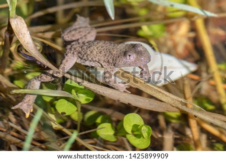 Rare yellow-bellied toad (Bombina variegata) in its natural habitat a very small pond #1425899909