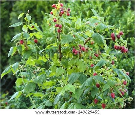 Raspberries growing on a bush in the garden