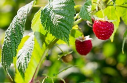 Raspberries. Growing Organic Berries Closeup. Ripe Raspberry In The Fruit Garden close-up view. Blurred nature background with sun shine and bokeh. Garden concept, toned.