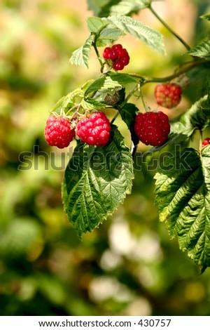 Raspberries on a bush