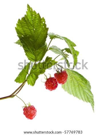 raspberries plant close up macro shot isolated on white background  #57769783