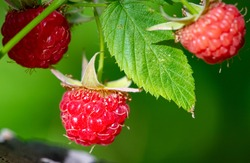 Raspberries. The variety of antioxidant and anti-inflammatory phytonutrients in raspberries is truly remarkable, and few commonly eaten fruits are capable of providing more variety.