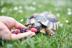 Raspberry and blackberry for home turtle. Close-up view of hand with fruit for domestic pet in grass on back yard.