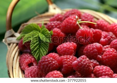 Raspberry basket / raspberry bush branch / growing raspberries