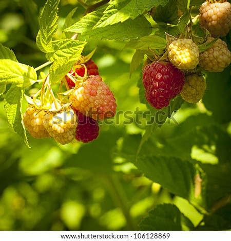 Raspberry berries keep up on a bush