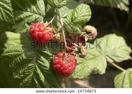 Raspberry berries on the bush
