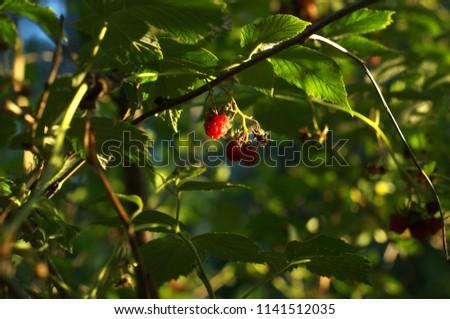 Raspberry berry at sunset #1141512035