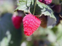 raspberry berry hanging on a branch, on a blurred background, healthy food