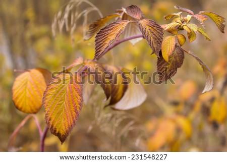 Raspberry bush in autumn