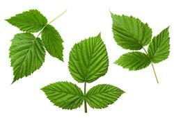 Raspberry leaf set isolated on white