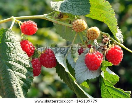 Raspberry on a bush growing