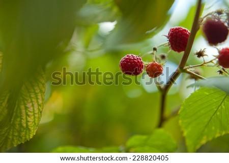 Raspberry on a bush in a garden. Summer in Scotland. Countryside. Fresh fruits. Organic food. Green leaves.