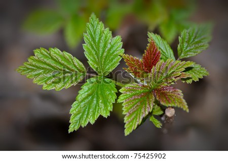 Raspberry plant starting to grow in the spring