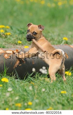 Rassmo-Dog little pug dog  climbs tree designer Dog pug with Jack Russel