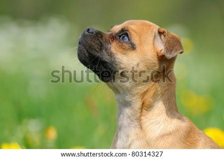 Rassmo-Dog little pug dog designer dog pug with jack russel terrier