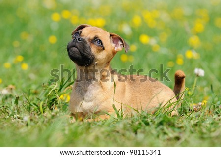 Rassmo-Dog little pug dog puppy 3 months in the meadow- designer-dog - with Jack Russel Terrier Mops Mix mit Jack Russel Terrier for free respiration and health