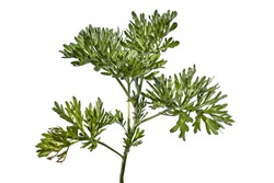 Raster clipart of absinthe wormwood closeup isolated on a white background. The stalk of a young growing plant with juicy silvery-green leaves