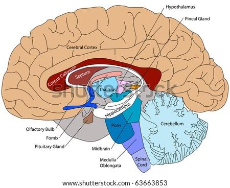 Brain labeled diagram 6561356 - follow4more.info