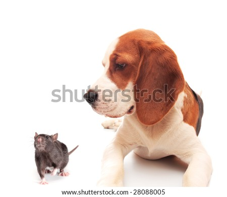 rat and beagle puppy on white background